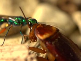 Jeweled Cockroach Wasp